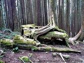 阿里山:阿里山奇形怪狀的樹頭