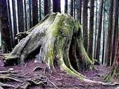 阿里山:老樹頭