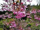 阿里山:阿里山櫻花17