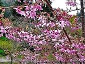 阿里山:阿里山櫻花20