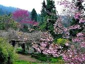 阿里山:阿里山櫻花21