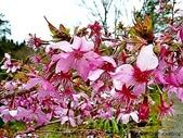 阿里山:阿里山櫻花18
