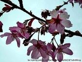 阿里山:阿里山櫻花15