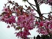 阿里山:阿里山櫻花13