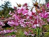 阿里山:阿里山櫻花16