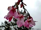 阿里山:阿里山櫻花14