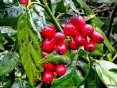 阿里山:紅果子