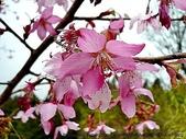 阿里山:阿里山櫻花19