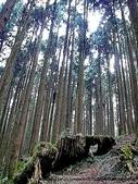 阿里山:阿里山的森林