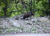 大雪山林道的藍腹鷴:074A6581藍腹鷴雌鳥.JPG