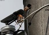 台南關子嶺的山麻雀親鳥育雛:074A3420幼鳥探頭索取食物.jpg