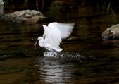 雙溪秋天的鳥類:074A5626a.jpg