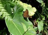 秋天雙溪的昆蟲:074A4763黑擬蛺蝶.jpg