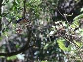 冬至大雪山活潑的鳥兒與松鼠:074A6946白耳畫眉.JPG