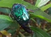 藍艷白點花金龜:DSC08592藍艷白點花金龜.jpg