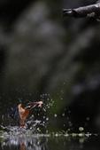 水鳥捕魚千裡挑一精彩鏡頭:N74A6717.JPG