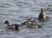 鰲鼓的候鳥與水鳥:N74A3138.JPG