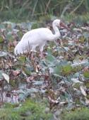 白鶴公鳥在金山捕蝦吃兼練武:金山 038白鶴.jpg