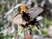 屏東士文昆蟲與動物:IMG_0191大鳳蝶(雌蝶)有尾突的短斑型.jpg