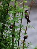 雙溪清晨星空與鳥類:074A4983小彎嘴親鳥和幼鳥.jpg