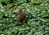 復旦-新天母公園的鳥兒:N74A3273.JPG