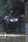 水鳥捕魚千裡挑一精彩鏡頭:N74A9924.JPG
