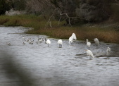 鰲鼓的候鳥與水鳥:074A7946.JPG