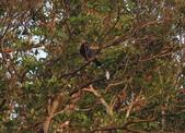 雙溪清晨星空與鳥類:074A4990台灣藍鵲.jpg