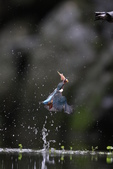 水鳥捕魚千裡挑一精彩鏡頭:N74A6756.JPG