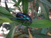 藍艷白點花金龜:DSC08605.JPG