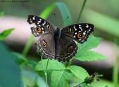 屏東士文昆蟲與動物:IMG_0233眼紋擬蛺蝶.jpg