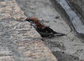 台南關子嶺的山麻雀親鳥育雛:074A3501下巴靠著階梯.JPG