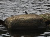 雙溪秋天的鳥類:074A5478a.jpg