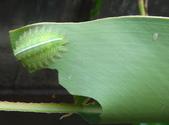 二隻黑點扁刺蛾早齡和終齡幼蟲~綠前蛹落跑:DSC06519大、小二隻黑點扁刺蛾幼蟲