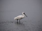 清晨鰲鼓濕地的鳥類:074A5821黑面琵鷺.JPG