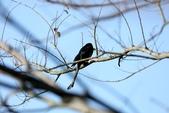復旦大埤塘的鳥兒:074A7295大捲尾.JPG