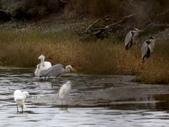 鰲鼓的候鳥與水鳥:074A7960蒼鷺咬長樹枝.jpg