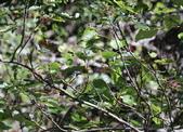 冬至大雪山活潑的鳥兒與松鼠:074A6938a.JPG