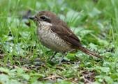 復旦-新天母公園的鳥兒:074A8147紅尾伯勞亞成鳥.jpg