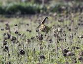 復旦大埤塘的鳥兒:074A7291紅尾伯勞.jpg