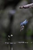 水鳥捕魚千裡挑一精彩鏡頭:N74A6831.JPG