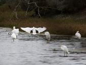 鰲鼓的候鳥與水鳥:074A7979.jpg