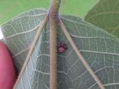 艾瑟毛圓蛛(雄與雌)-構樹:DSC08343構樹葉背.JPG