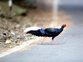大雪山賞鳥和松鼠及猴王:074A7339過馬路.JPG