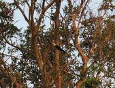 雙溪清晨星空與鳥類:074A4988樹鵲.jpg