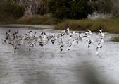 鰲鼓的候鳥與水鳥:074A7982全體起飛.jpg