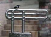 新天母公園的鵲鴝雄鳥:074A5772a.jpg