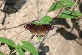 屏東士文昆蟲與動物:IMG_0226琉球紫蛺雌蝶.JPG