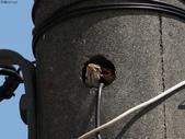 台南關子嶺的山麻雀親鳥育雛:074A3409山麻雀幼鳥.jpg