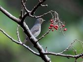 大雪山賞鳥和松鼠及猴王:074A7351黃腹琉璃母鳥.jpg